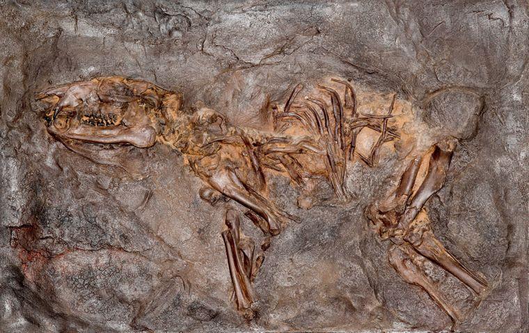 Fossilien wie dieses Urpferdchen wurden in der Grube Messel gefunden.