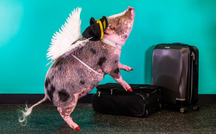 Das Schweinchen LiLou kann nicht nur niedlich aussehen, sondern auch zahlreiche Kunststückchen.
