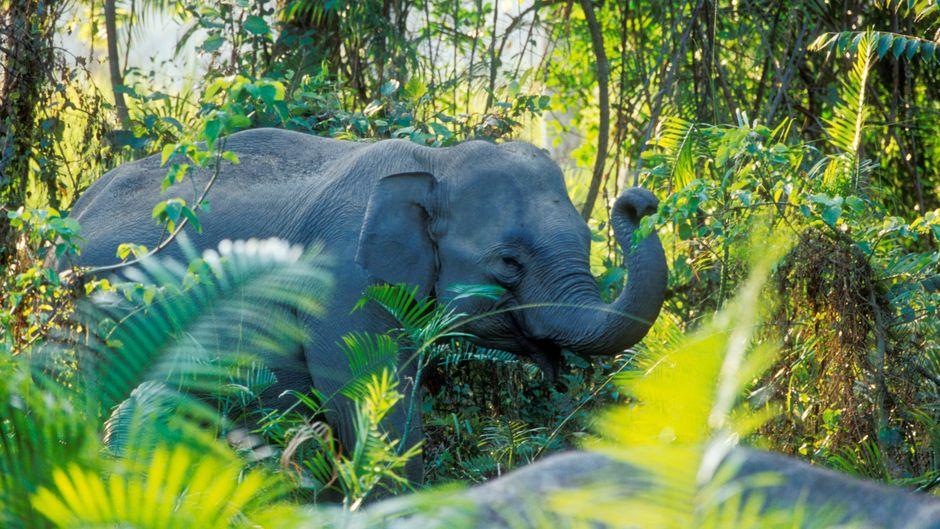 Indisch-asiatischer Elefant