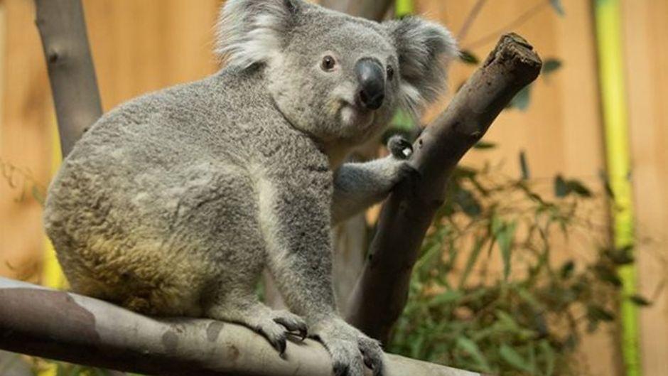 Koala Tanami zog Anfang August vom Zoo in Duisburg nach Edinburgh um.