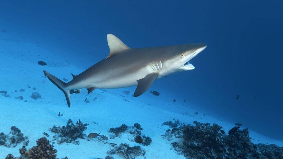 Ein Grauer Riffhai schwimmt im Great Barrier Reef.