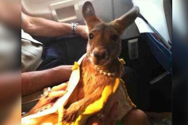 Känguru in einem Flugzeug.