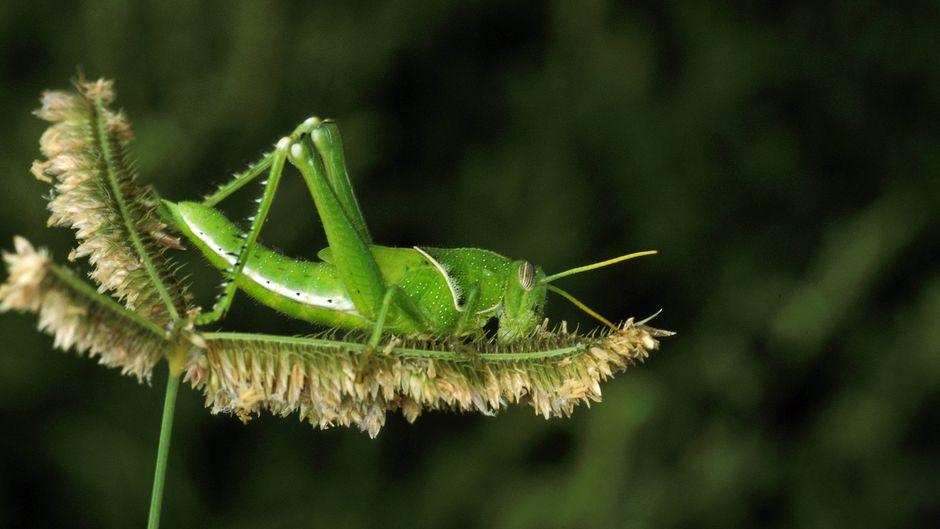 Millionen von Heuschrecken finden sich in einem Schwarm.