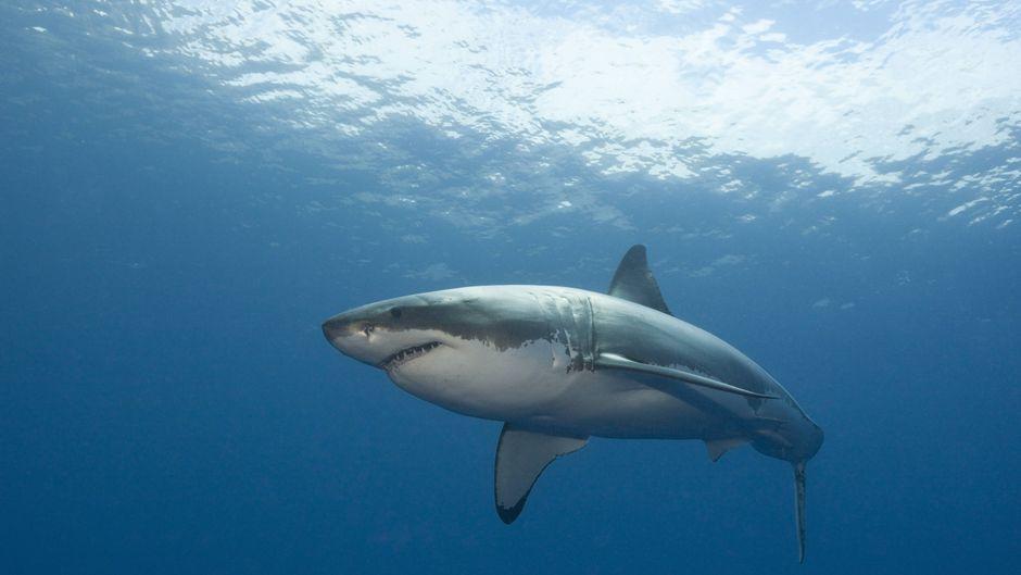 Großer Weißer Hai in Australien.
