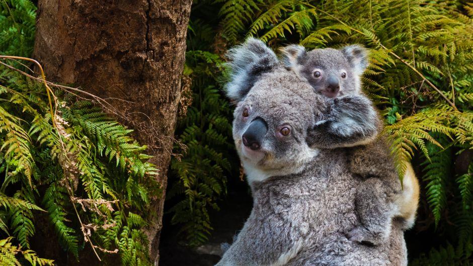 Koalas kannst du trotz Corona-Krise unterstützen.