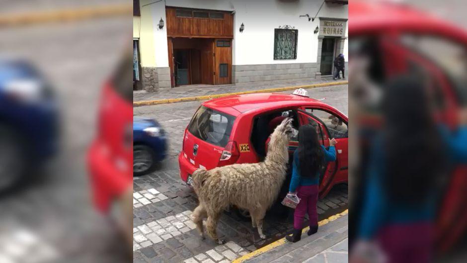 Das Alpaka wird doch wohl nicht ins Taxi… Doch, wird es!