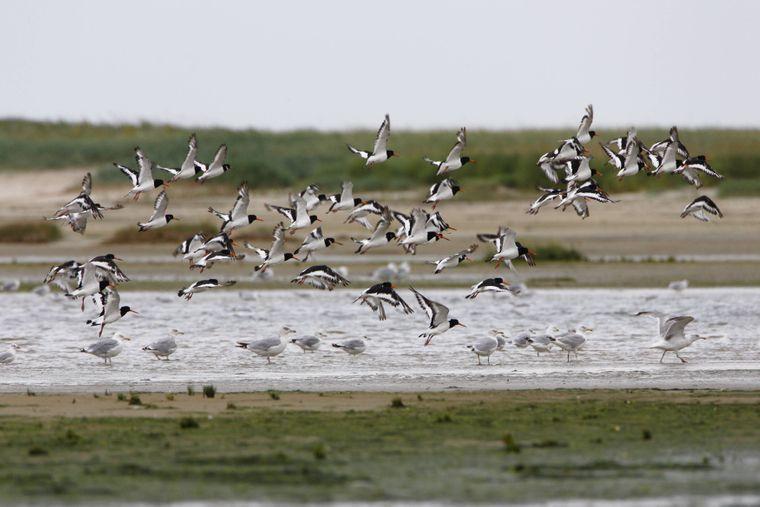 Typisch für Ostfriesland: Den Austernfischer wirst du garantiert auch auf der Vogelinsel Memmert treffen.