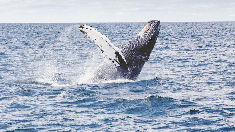 Die Stellenbeschreibung? Buckelwale beobachten.