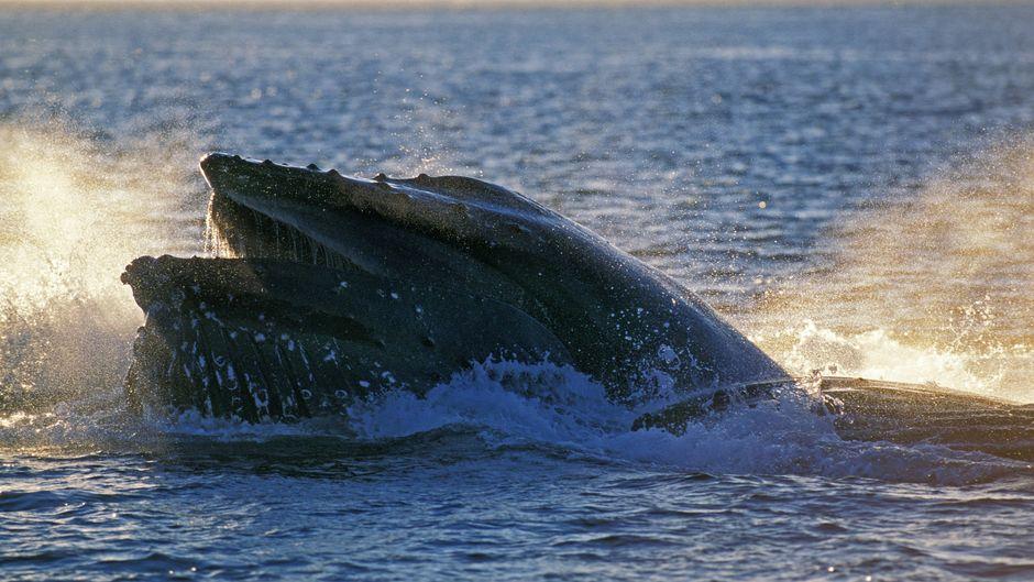 Ein Buckelwal.