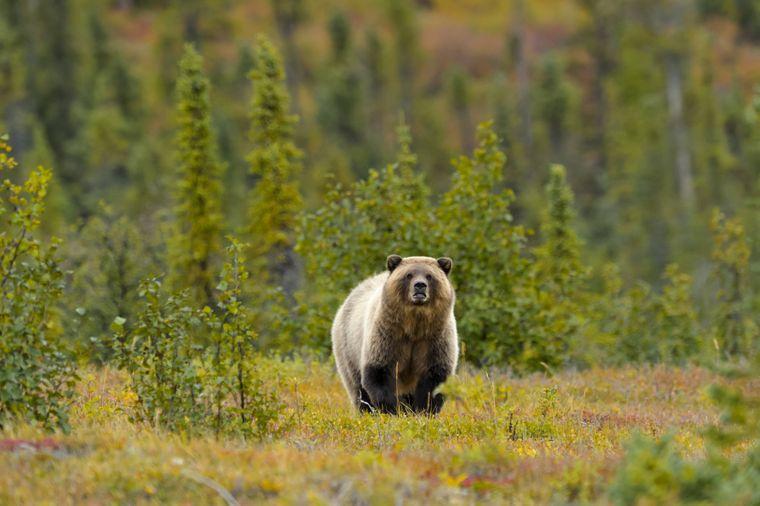 Grizzlybär in Kanada.