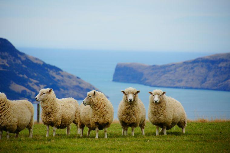 Schafe auf einer Weide in Neuseeland