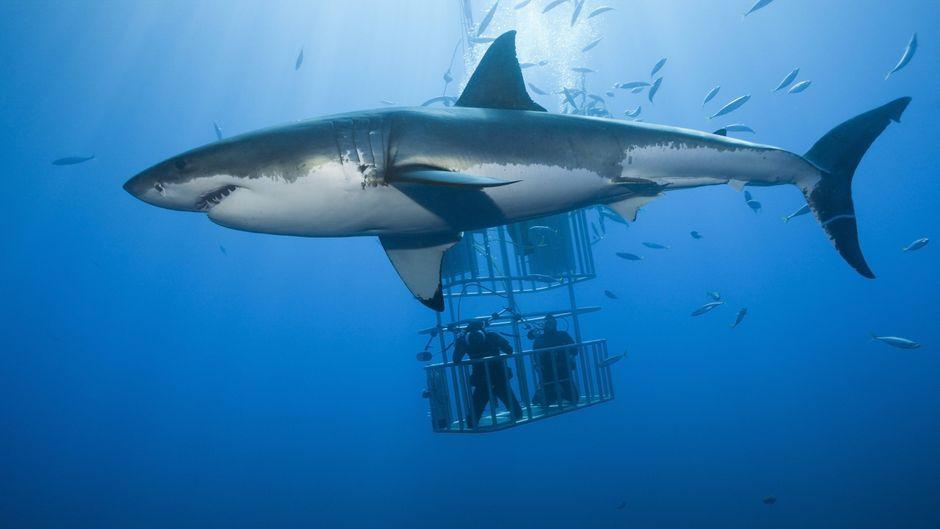 Käfigtauchen mit dem Weißen Hai.