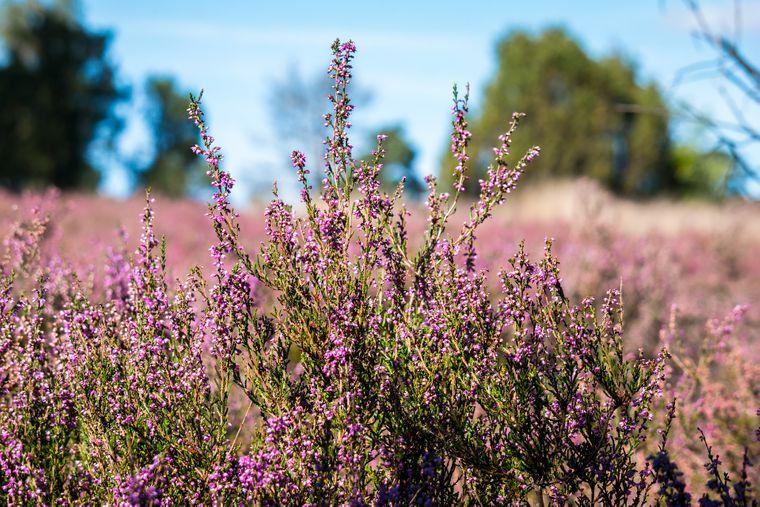 Lila Blüten in der Lüneburger Heide.