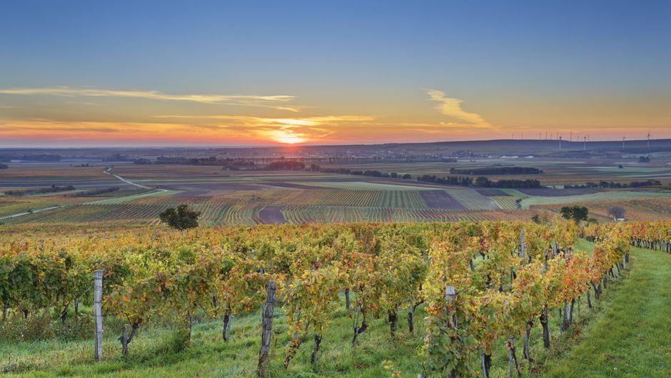 Weinberge im Burgenland in Österreich
