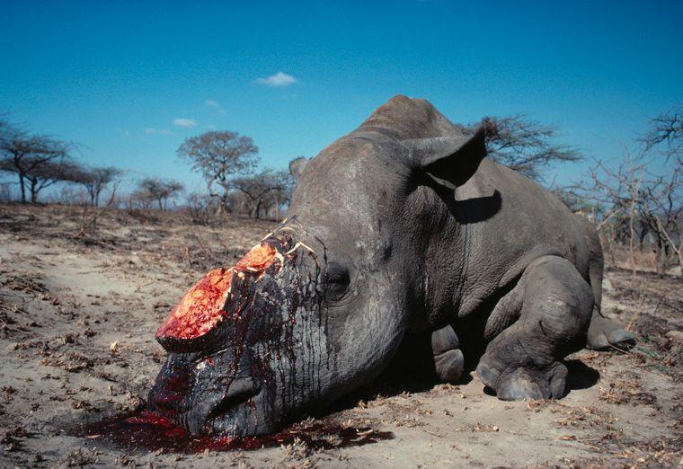 Ein gewildertes Nashorn. Die Jagd nimmt in der Corona-Pandemie wieder zu, berichten Tierschützer.