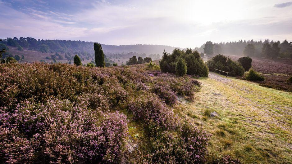 Die Landschaft in der Lüneburger Heide zeigt sich ganz in lila.
