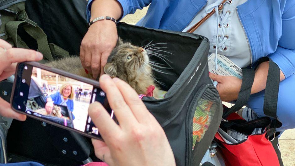 Die getigerte Katze Stitches wartet in ihrem Wagen auf gestresste Fluggäste.