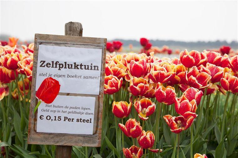 An vielen Orten kannst du für eine günstige Gebühr selbst Tulpen pflücken.