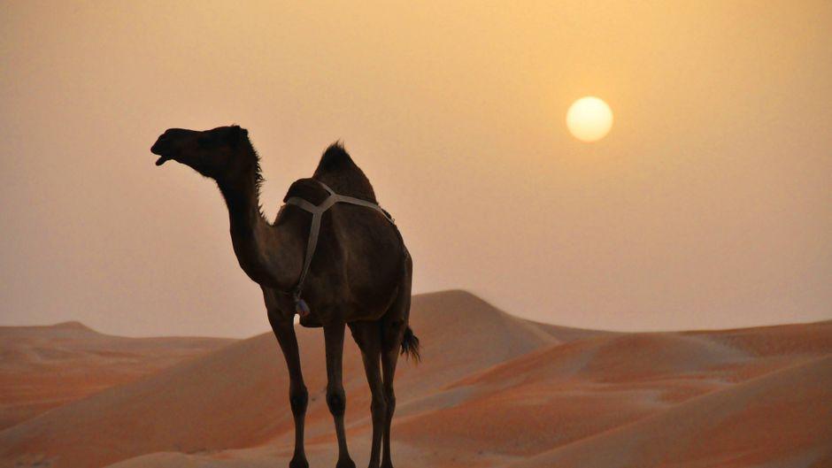 Die Strapazen des Tages bleiben unbemerkt: Kamele sind unglaublich widerstandsfähig.