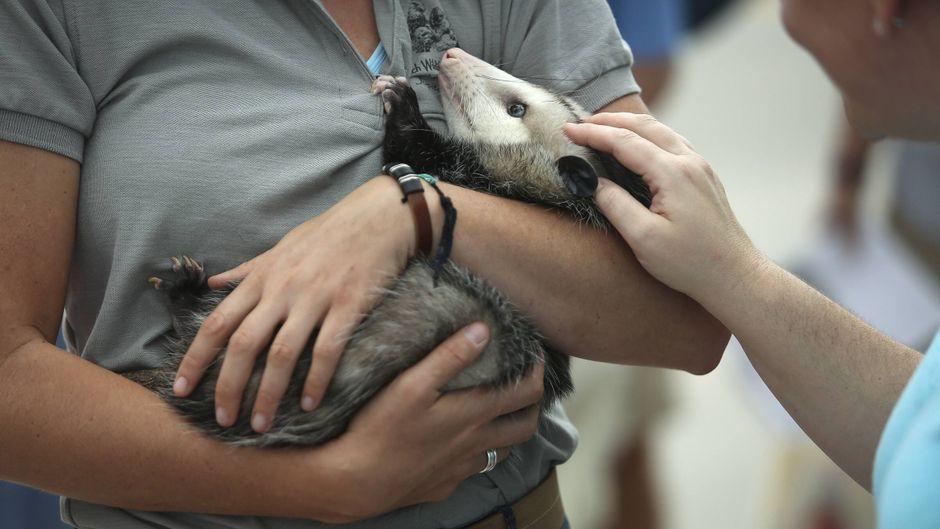Eine Frau hält ein Opossum im Arm – Jetblue wollte einen Passagier mit dem Tier nicht ins Flugzeug lassen. (Symbolfoto)
