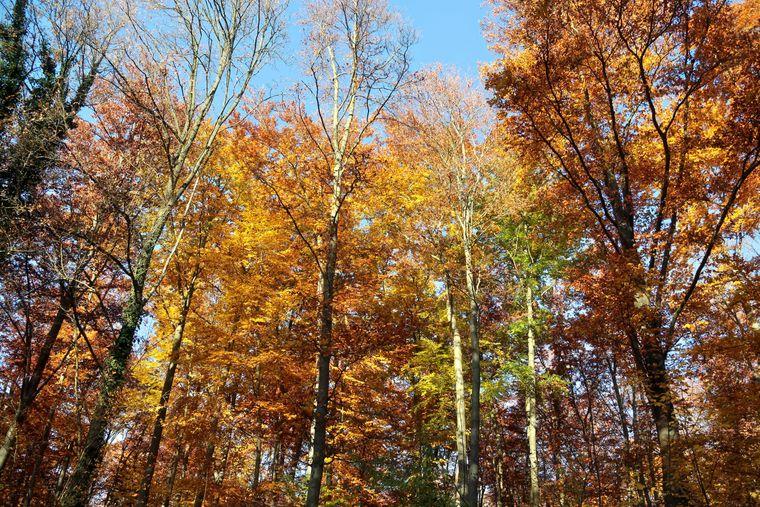 Das goldene Herbstlaub im Ith.