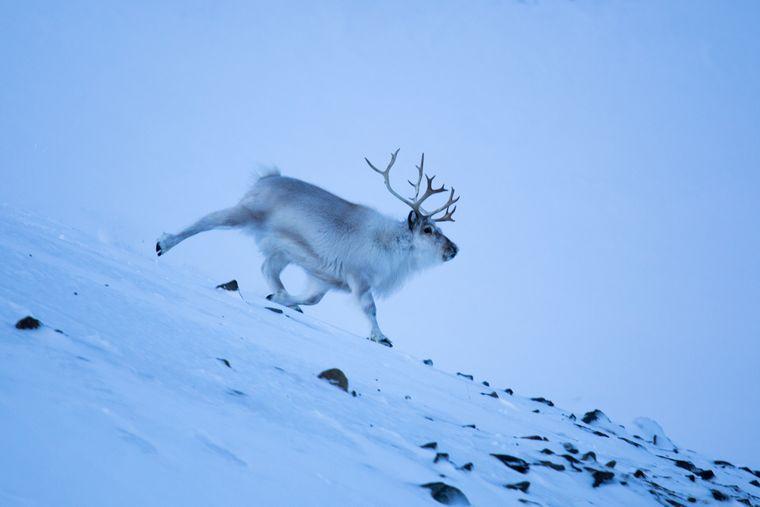 Das Svalbard-Rentier gibt es nur in der Gegend auf Spitzbergen.