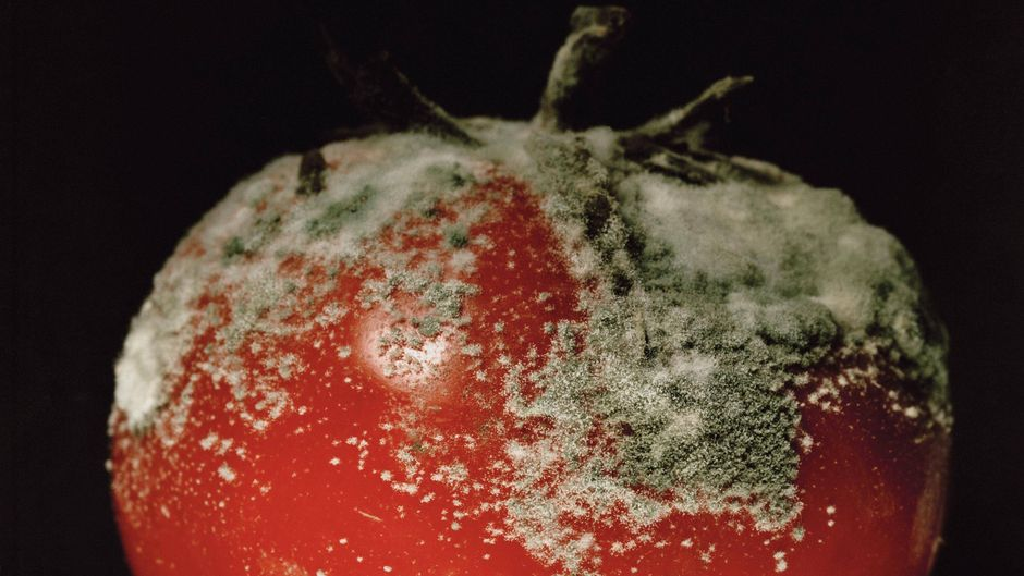 Verschimmelte Tomate.