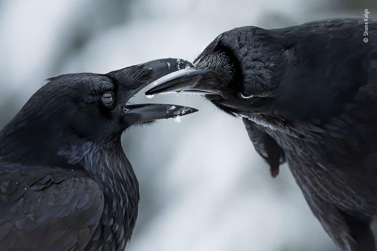 """Zwei Raben während der Balzzeit im Winter wurden von Shane Kalyn beobachtet – das Ergebnis ist """"The Intimate Touch""""."""