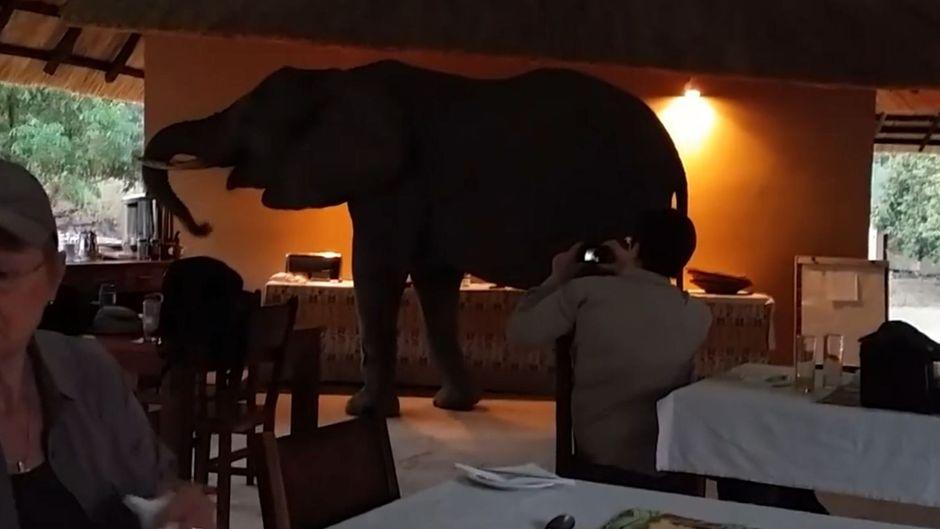 Elefant steht in einem Frühstücksraum eines Hotels in Sambia.