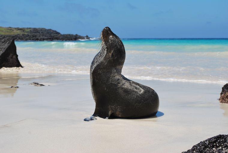Ök, ök, ök: Seelöwen am Strand der Galapagos-Inseln.