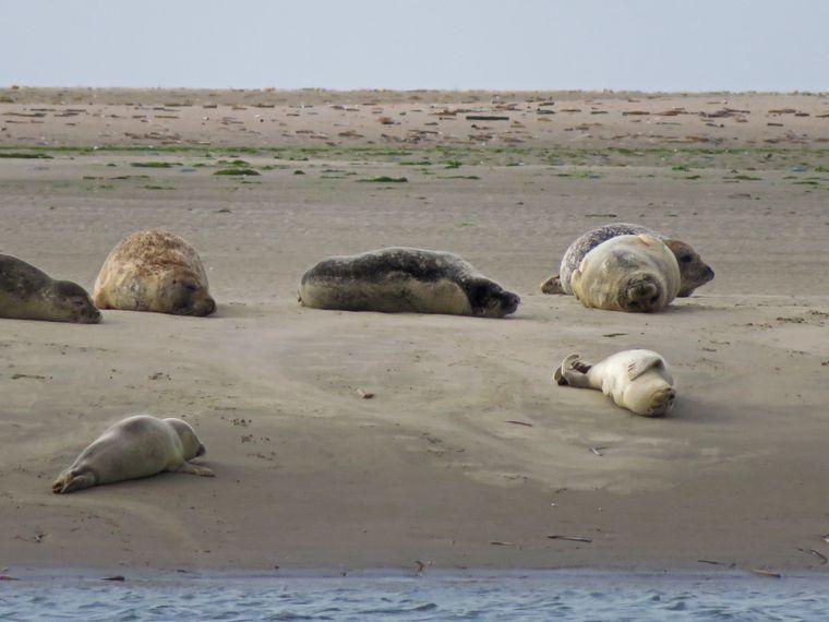 Robben wälzen sich im Sand.