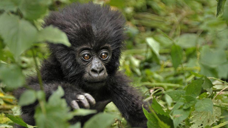 Ein Berggorilla-Baby in Ruanda