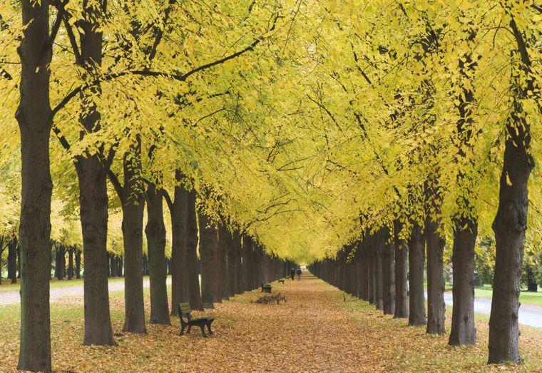 Linden, so weit das Auge reicht: Das bekommen Besucher im Georgengarten in Hannover. Vorwarnung: Im Herbst posieren etliche Menschen für ein Foto unter Baumalleen.