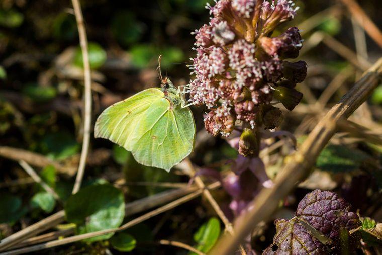 Der Zitronenfalter ist ein Schmetterling Tagfalter aus der Familie der Weißlinge.