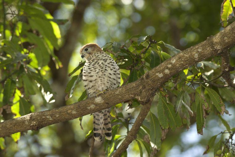 Der Kestrel, ein falkenartiger Vogel, lebt nur auf Mauritius.