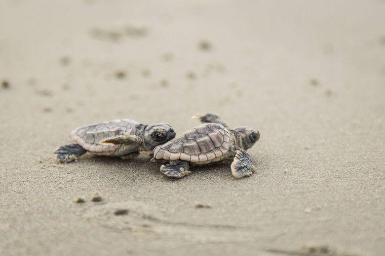 Weißt du, wo es langgeht? Zwei Baby-Schildkröten auf dem Weg ins Meer.