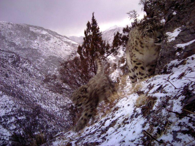 Zwischen den verschneiten Berghängen verstecken sich die Schneeleoparden Tibets.