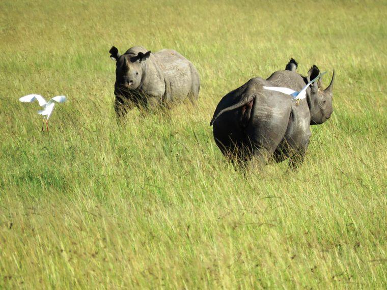 Ein ganz besonderer Anblick: Gleich zwei von insgesamt nur 14 schwarzen Nashörnern in der Masai Mara.