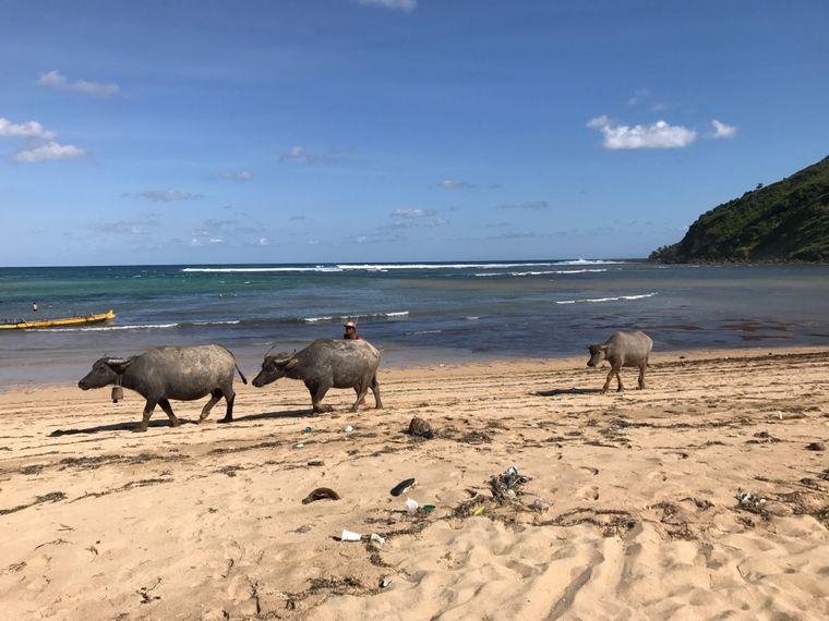 Wasserbüffel am Stand von Lombok – östlich von Bali.