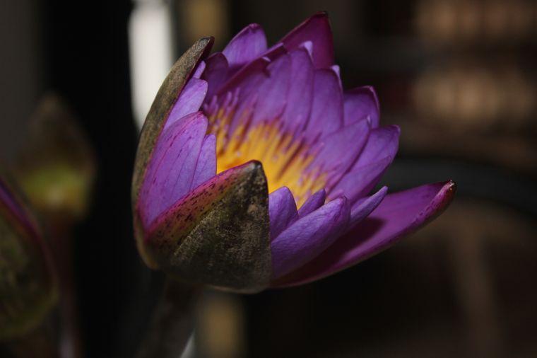 Sri Lanka hat eine wunderbar große Pflanzenvielfalt. Die Lotusblume zählt im Buddhismus zu den acht Kostbarkeiten.
