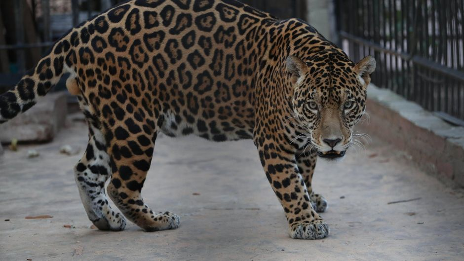 Jaguar im Mercado Zoo, in Santa Cruz, Bolivien. (Symbolbild)