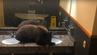 Ein drolliges Bärenjunges machte es sich einfach im Hotel auf einem Waschbecken gemütlich.