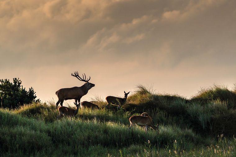 Hirsche in der Nähe von Zingst: Vor allem zur Brunftzeit zieht es zahlreiche Fotofreunde aus ganz Deutschland auf die Halbinsel.