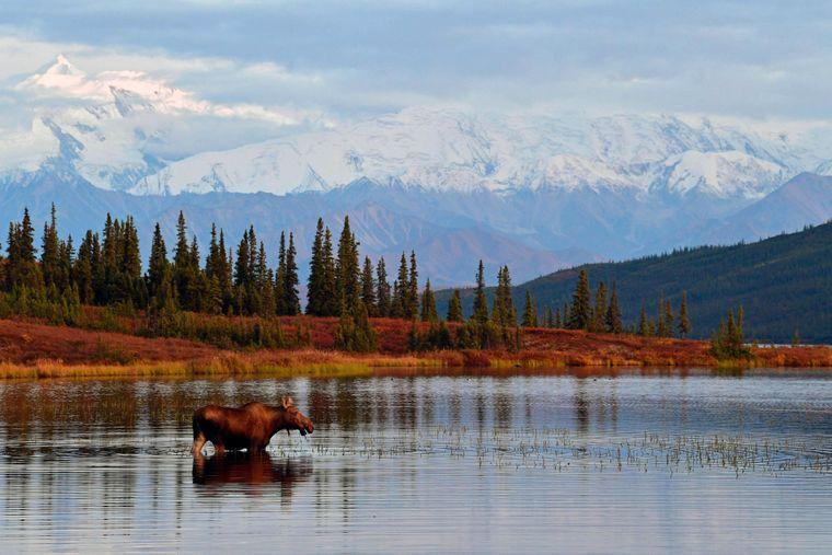 Wilder Nachbar! Wer in Alaska wohnt, kann in der Freizeit durch die schönsten Nationalparks wandern, wie den Denali Nationalpark.