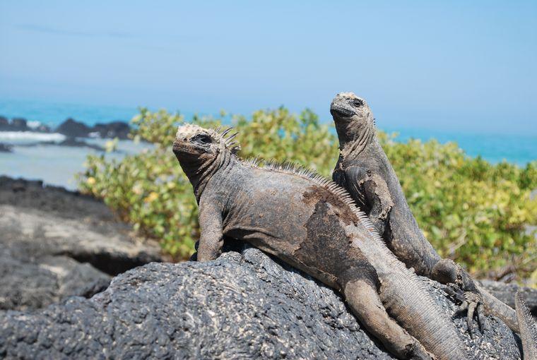 In freier Natur: Überall auf den Galapagos-Inseln leben Leguane.