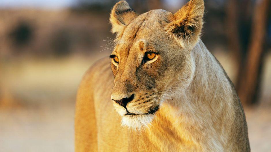 Mit etwas Glück kommt man auf einer Safari den Löwen ganz nah. Die Guides achten dabei in der Regel auf einen Sicherheitsabstand. (Symbolfoto)