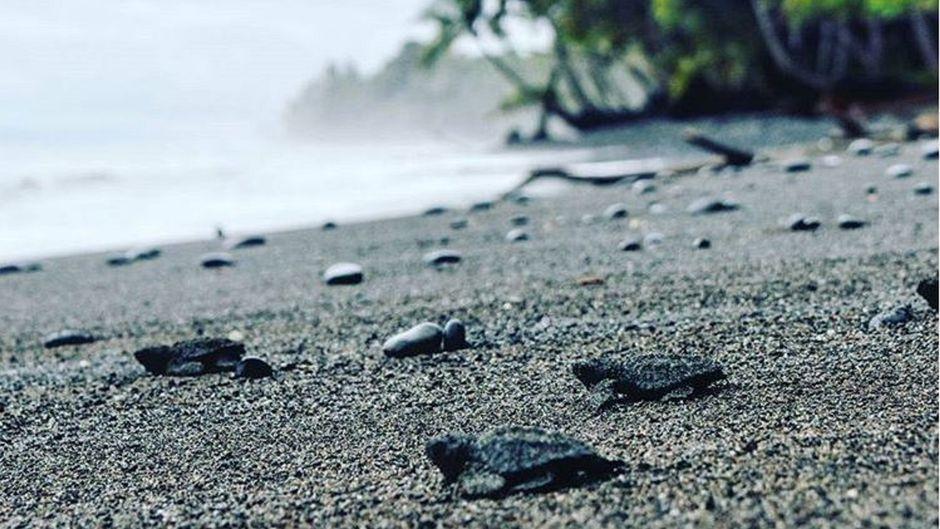 Dank des Schutzprojekts von Punta Banco in Costa Rica können diese kleinen Babys einer vom Aussterben bedrohten Meeresschildkröten-Art sicher ins (Meer-)Leben starten.