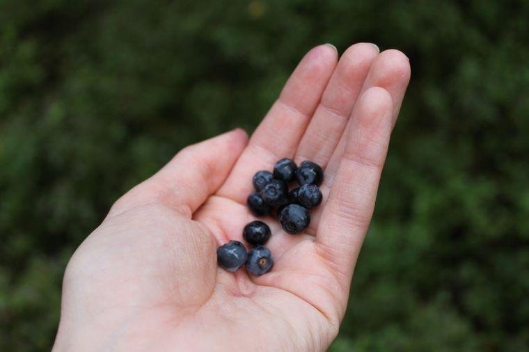 Klein, rund, und die perfekte Vitaminbombe: Wilde Blaubeeren wachsen am Wegesrand.