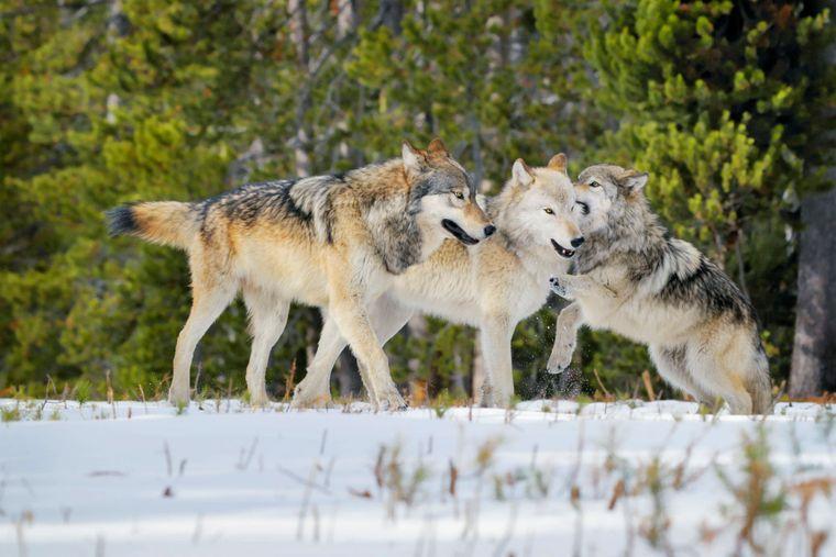 Orte, an denen du Wölfe in freier Wildbahn sehen kannst, gibt es nicht mehr viele in den USA. Im Yellowstone-Nationalpark kannst du mit etwas Glück ein Rudel bei der Jagd beobachten.