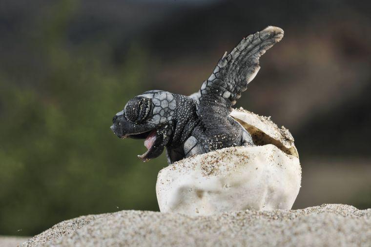 Raus aus dem Ei: Eine Unechte Karettschildkröte schlüpft.